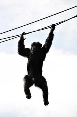 ホントは恐ろしい!チンパンジー事件簿 その知られざる凶暴性