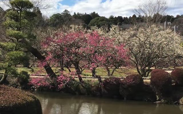 水戸の梅まつり 2017年の日程と見どころ